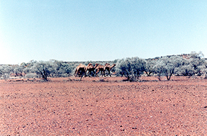 Wild camels in Elvo