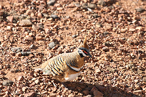 Spinifex pigeon in Opalton